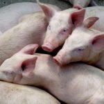 Comiendo callado. El problema de promover el consumo de carne de cerdo en Colombia